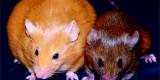 Epigenetics and the Agouti Mouse