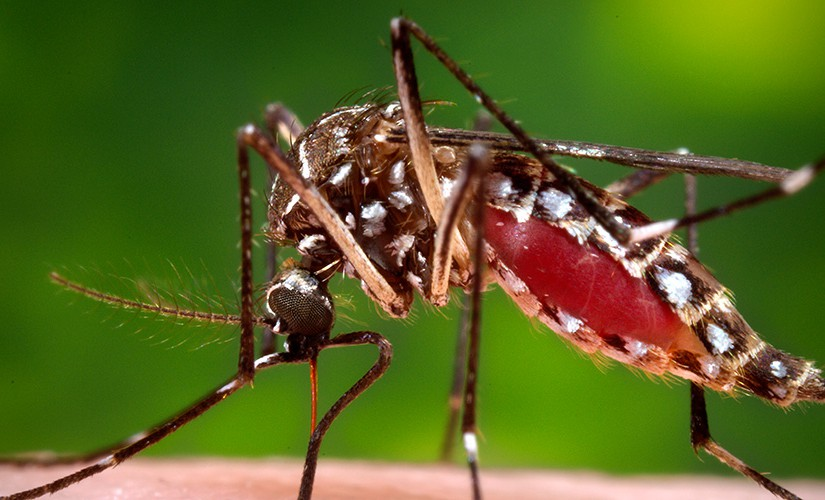 FemaleAedes aegypti mosquito in the process of acquiring a blood meal from her human host.