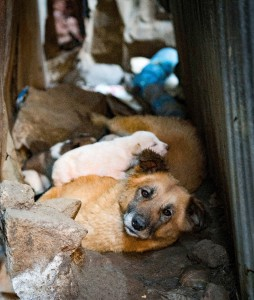 Street dog with puppies in Addis Ababa.