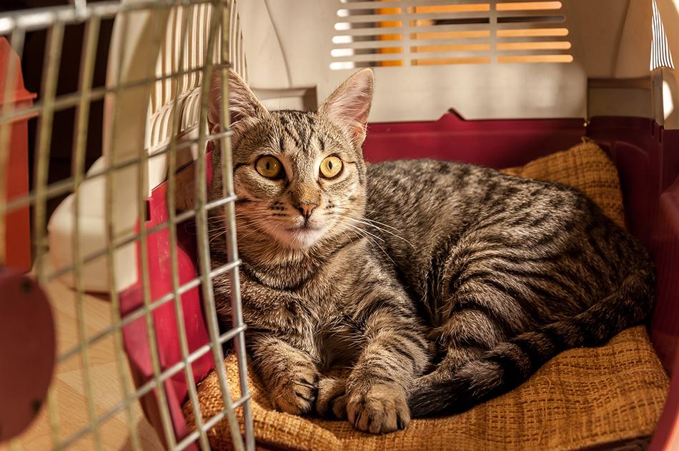 Grey adult cat resting inside a pet carrier.